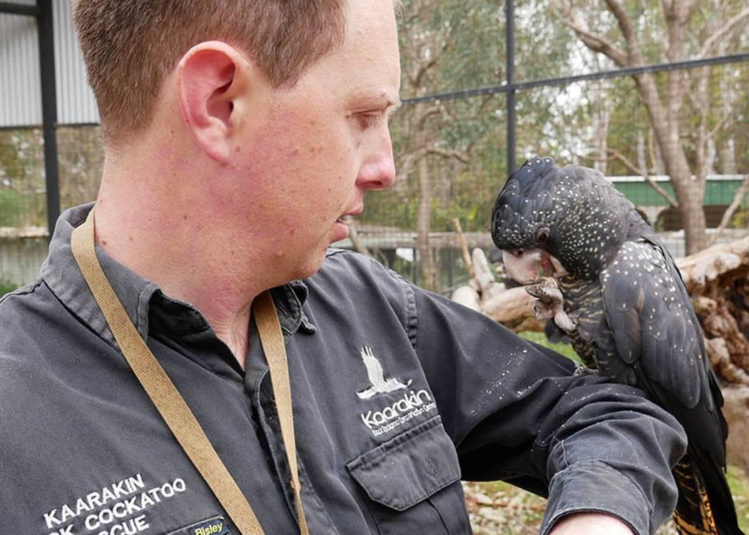 Black Cockatoo Rehabilitation